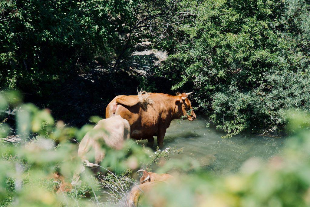 Mucche al Lago di Giacopiane